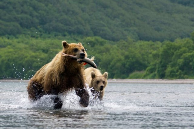 Nature World Adventures -Russia  - Brown Bear